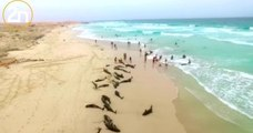 Une plage cap-verdienne transformée en véritable cimetière de cétacés, après la mort de 136 dauphins échoués