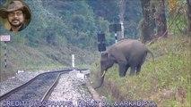 Un éléphant n'arrive pas à sauter un petit fossé