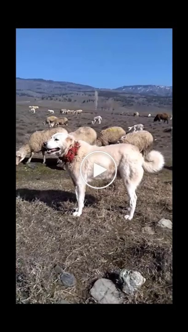 AKBAS COBAN KOPEKLERi GOREV BASINDA - ANATOLiAN SHEPHERD AKBASH DOGS and SHEEP