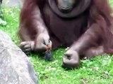 Un orang-outan sauve un oisillon tombé à l'eau... adorable