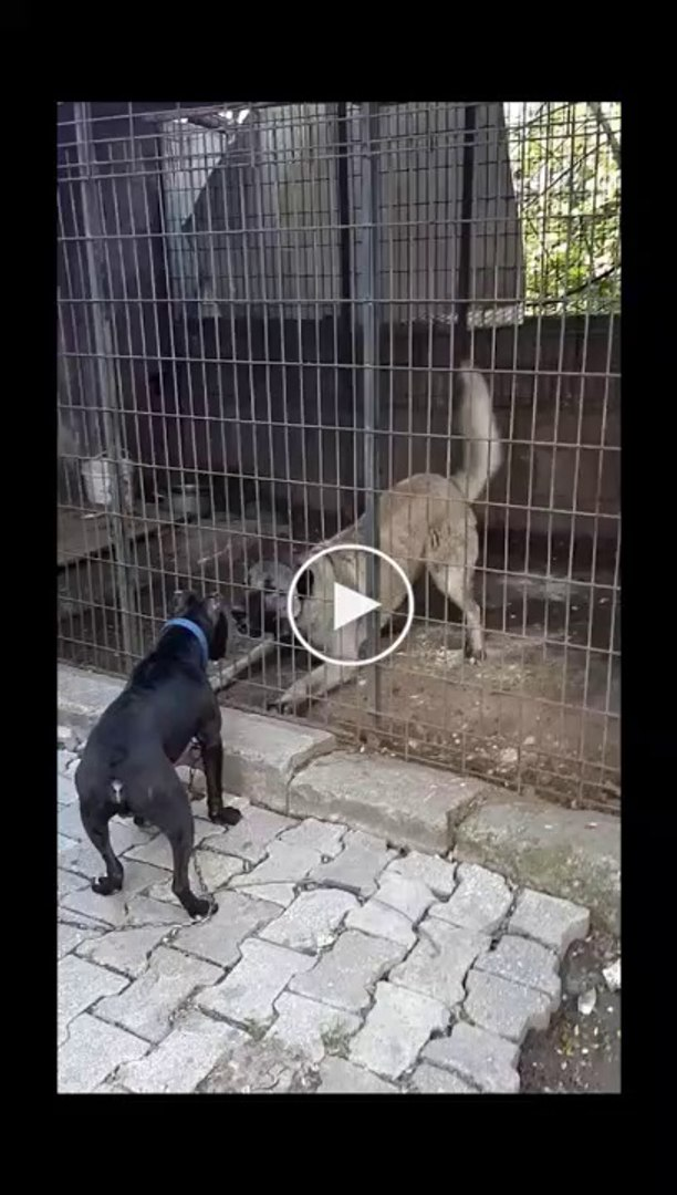 PiTBULL vs SiVAS KANGAL KOPEGi KARSILASMA - PiTBULL DOG vs KANGAL DOG