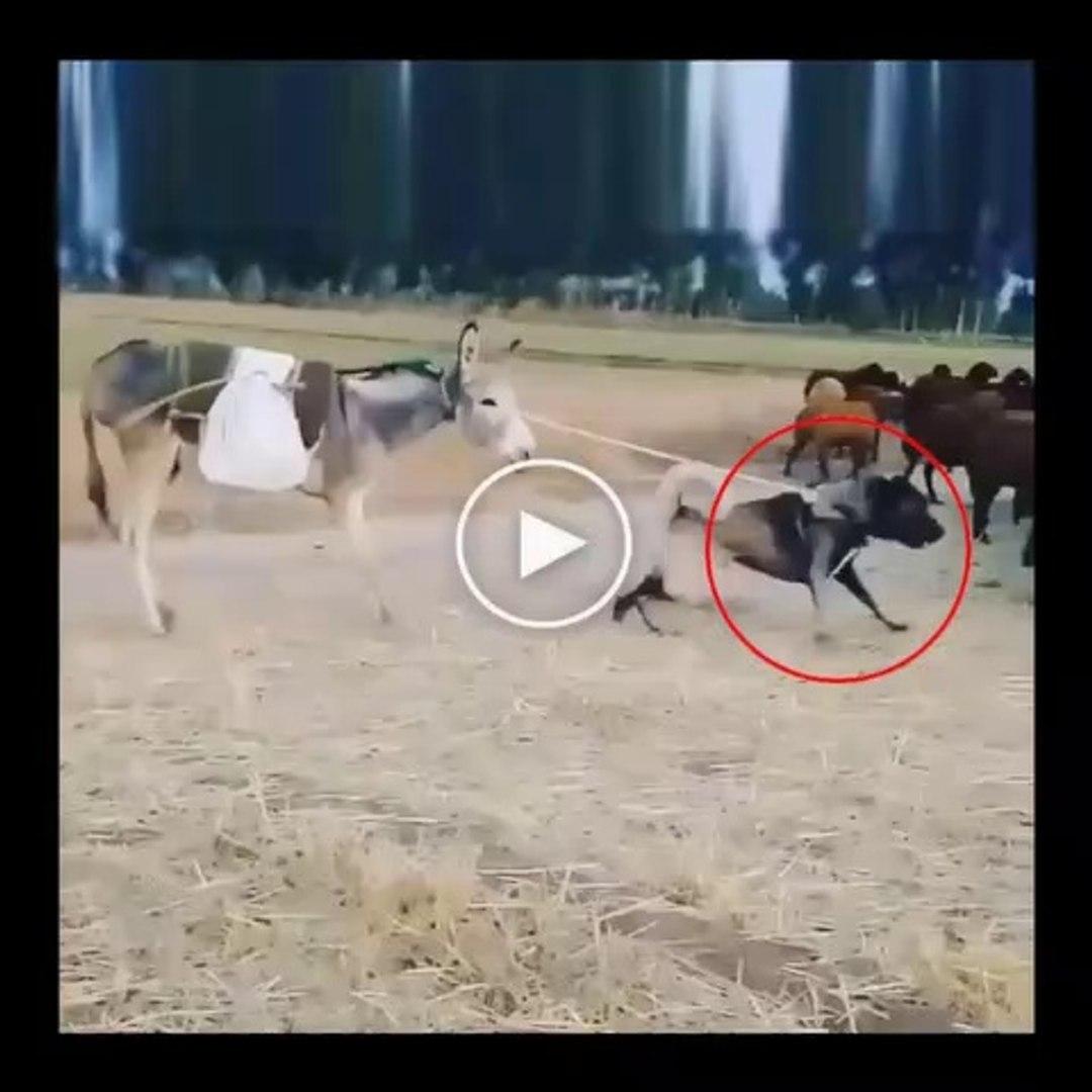 SiVAS KANGAL KOPEGi KOYUN SURUSU ve ESEK - SiVAS KANGAL DOG SHEEPS and DONKEY