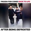Ce poisson congelé revient à la vie après quelques minutes dans l'eau
