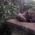 Ce singe vide le paquet de tabac d'un touriste : faut pas fumer !