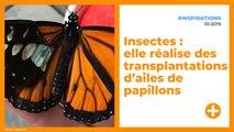 Insectes : elle réalise des transplantations d'ailes de papillons