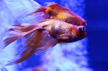 Tener peces de colores sin productos químicos
