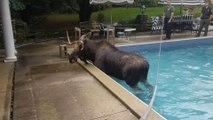 Des sauveteurs aident un élan coincé dans une piscine