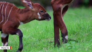 Eastern Bongo, One Of The Rarest Mammals, Born At UK's Chester Zoo