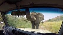 Un éléphant très curieux vient dire bonjour à des touristes