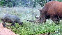 Ce bébé rhinocéros embête son papa... enfant terrible