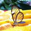 Ce papillon magnifique a les ailes transparentes