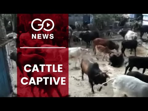Cattle Kept Captive