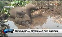 Seekor Gajah Betina Mati di Kubangan