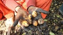 Exclusive: It's walnut season in Kashmir