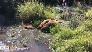 Utah Authorities Release Beaver Family To Help Restore A Stream To Natural State