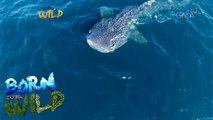 Born to Be Wild: Threats faced by 'ocean giants'