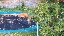 Un zorro salta en el trampolín de una familia