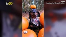 Balancing Act! Dog's Ability to Balance Items on His Head Turns Him into Social Media Attraction!