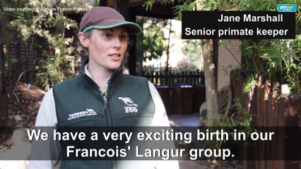 'Incredibly rare' monkey born at Australian zoo