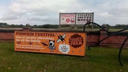 Piglets and pumpkins Towthorpe
