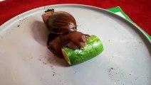 Cet escargot dévore un concombre !