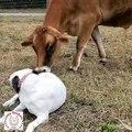 Un chien et un veau se lient d'amitié. Emouvant !