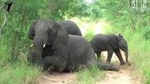 Ces éléphants jouent en plein milieu du chemin