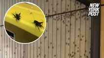 Crazy cricket takeover! Why thousands of insects invaded this college