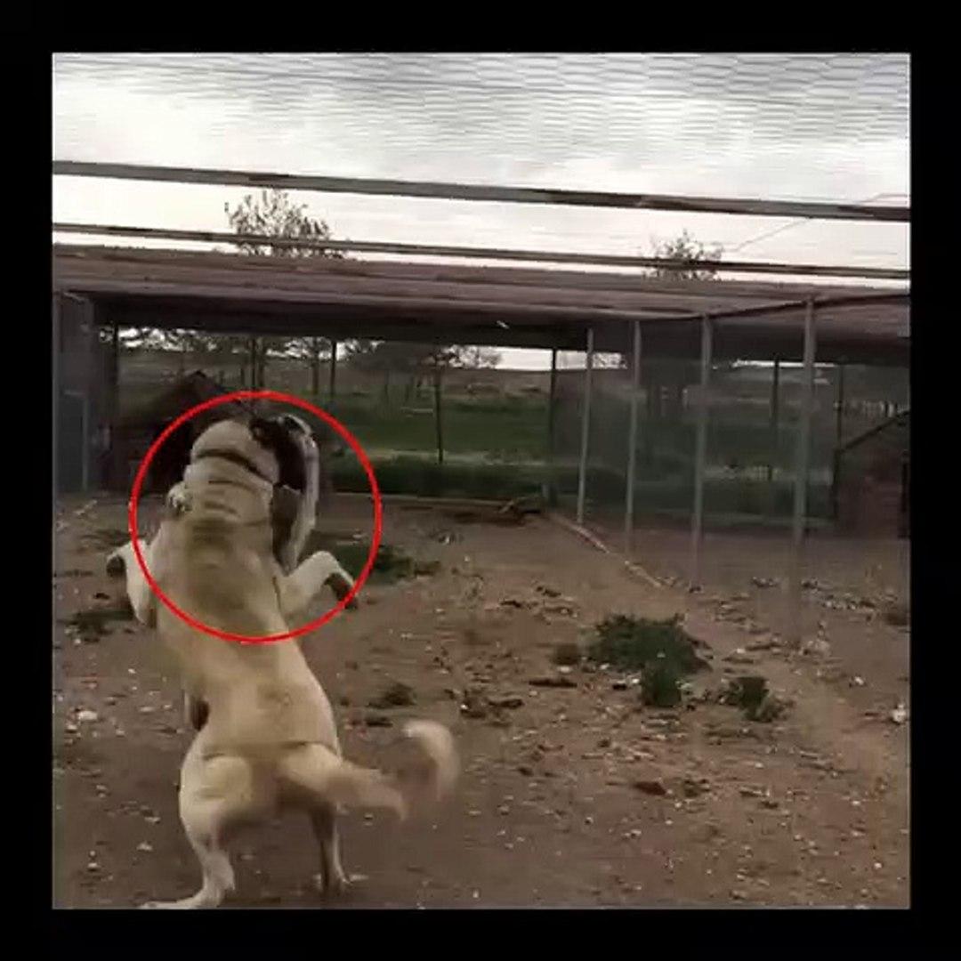 SiVAS KANGAL KOPEKLERi OGLEN SPORU - SiVAS KANGAL DOGS NOON EXERCiSE