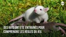 Les rats sont des animaux extraordinaires : ils aiment jouer à cache-cache