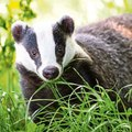 TalkRadio with Matthew Wright 9Oct19 - Dominic Dyer & Matthew discuss the badger cull