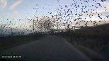 Une route russe recouverte de milliers d'oiseaux