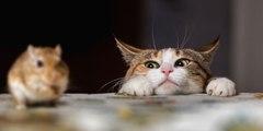 Regresa Super Ratón: una rata ataca y persigue al gato que quería darle caza