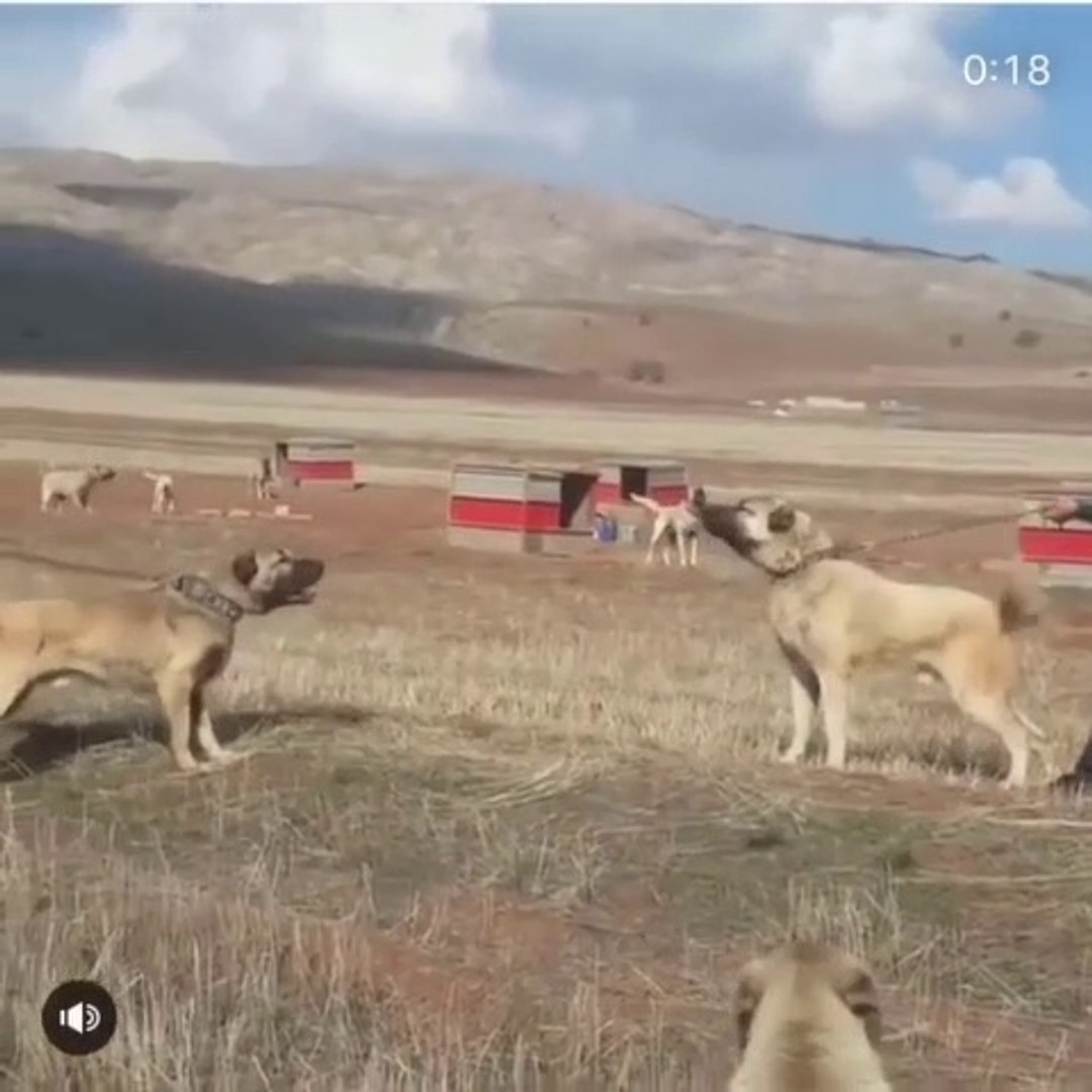 SiVAS KANGAL KOPEKLERi ATISMA ve KARSILASMA - ANATOLiAN SHEPHERD SiVAS KANGAL DOGS VS