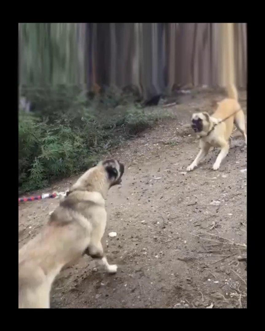 KISA ANADOLU COBAN KOPEKLERi SERT ATISMA - ANATOLiAN SHEPHERD DOG VS