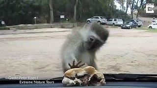 Ce singe essaie d'attraper le burger derrière le pare-brise d'une voiture
