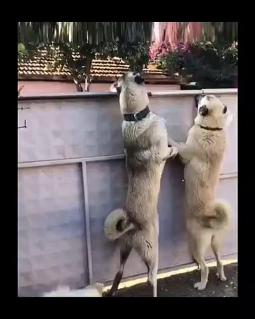 SiVAS KANGAL KOPEKLERiNDEN KAPI NOBETi - SiVAS KANGAL DOGS DOOR WATCH