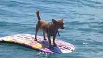 """Lo sapevi che i chihuahua sanno """"surfare""""?"""