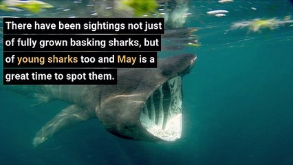 Sharks - Seven places in Scotland to see basking sharks