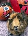 Un cochon d'inde tout heureux de croquer du piment