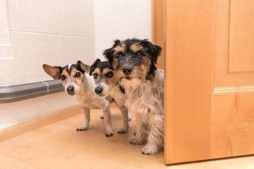 Quelles races de chien privilégier en appartement ?