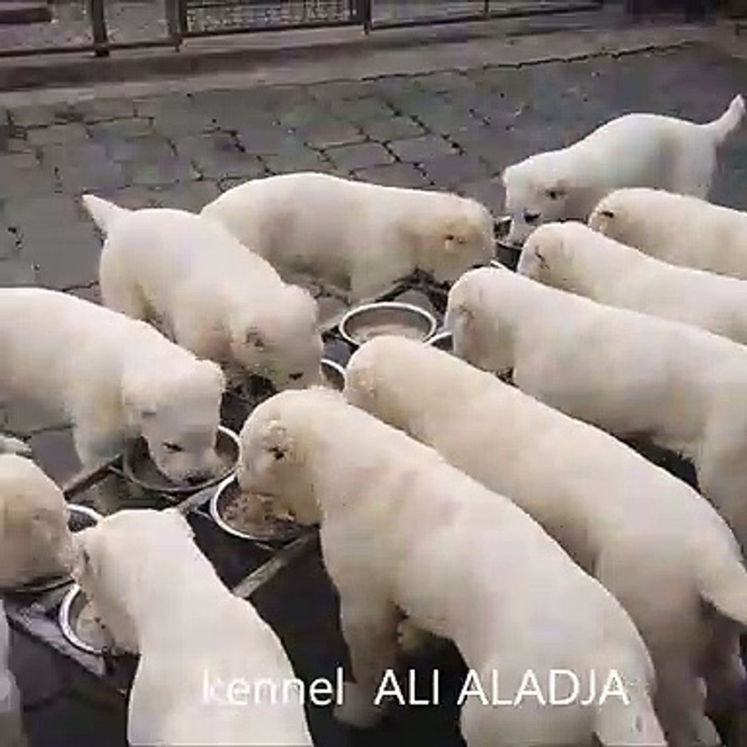 ALABAY COBAN KOPEKLERi SABAH KAHVALTISI - ALABAY SHEPHERD DOG PUPPiES BREAKFAST