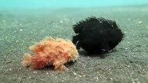 Ces choses mystérieuses ne sont pas des végétaux mais bien des animaux : poissons-crapauds