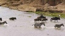 Traversée dangereuse pour ces zèbres entourés de crocodiles énormes