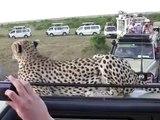Un guépard vient se coucher sur le capot d'un 4x4 en plein safari