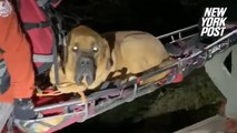 Massive mastiff rescued from mountainafter hiking injury