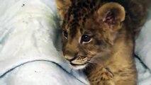 Un lionceau essaie de rugir