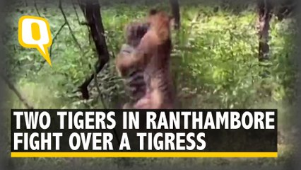 2 Tigers Battle Over a Tigress in Ranthambore Reserve