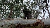 Koala Carries Joey on Treetop Climb
