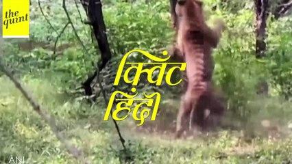 Ranthambore National Park में आपस में भिड़े दो बाघ | Quint Hindi